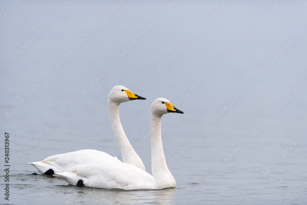 two whooper swans swimming