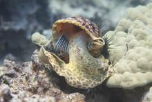 Triton's Trumpet Eating Crown-of-Thorns Starfish