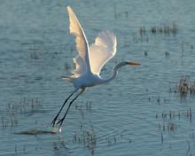 Great White Heron Taking Off B...