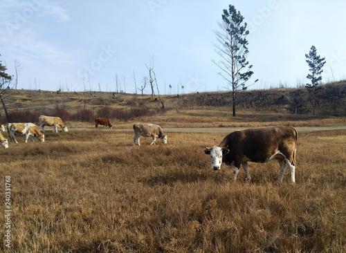 Obraz na plátně Cows on a pasture.