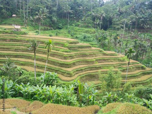 Poster Rijstvelden Terraced rice fields