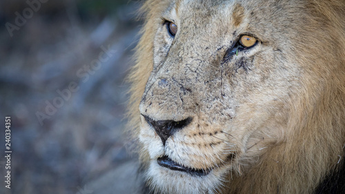 Close up portrait of male lion resting under a tree during the heat of the day Wallpaper Mural