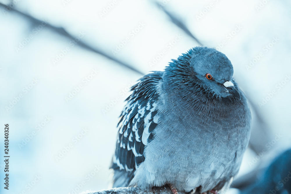 pigeon on the branch perched in the winter afternoon