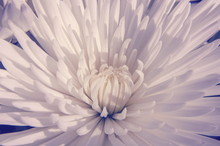 Closeup Of A White Flower, Detailed Macro Of Plant's Petals