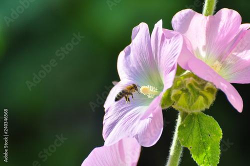 Honey bee flies near to a wildflower Canvas Print