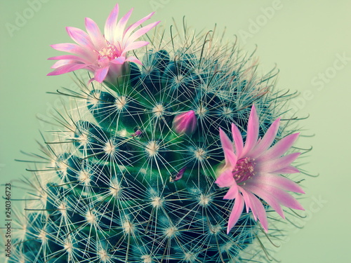 Fotografering  pink mini cactus flowers, mammillaria, blossoming, macro photography