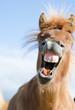 canvas print picture - Lachendes Pferd