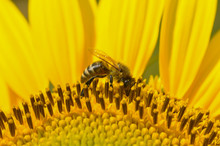 Honey Bee Pollinating Sunflower. A Bee Collects Nectar From Flowers