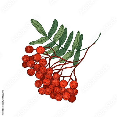 Fotografie, Obraz  Colored bright rowan tree branch or sprig with leaves and ripe berries hand drawn on white background
