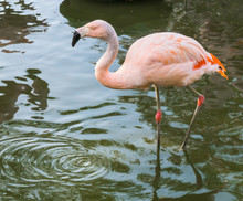 Closeup Of A Pink Chilean Flamingo Walking Through The Water, A Near Threatened Tropical Bird From America