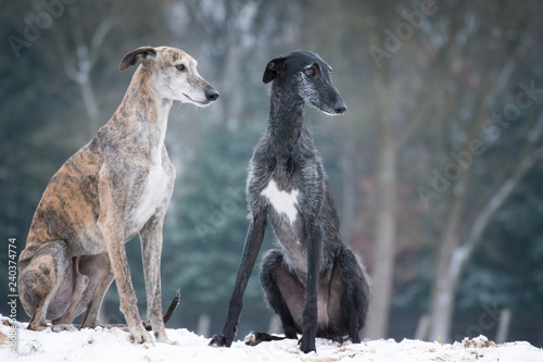 Valokuvatapetti zwei Galgos sitzen im Schnee