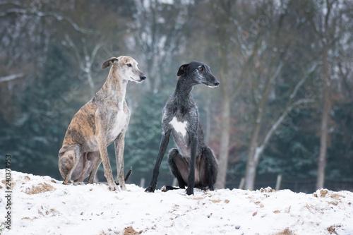 zwei Galgos sitzen im Schnee