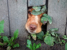 Cute Dog That Put Their Nose Through Hole In Fence. Dog Peek-a-boo