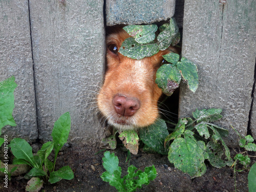 Photo  Cute Dog That Put Their Nose Through Hole in Fence