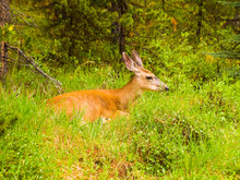 Deer On The Lawn In The Forest