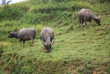 Sapa N Vietnam Bufali Allevamento Al Pascolo