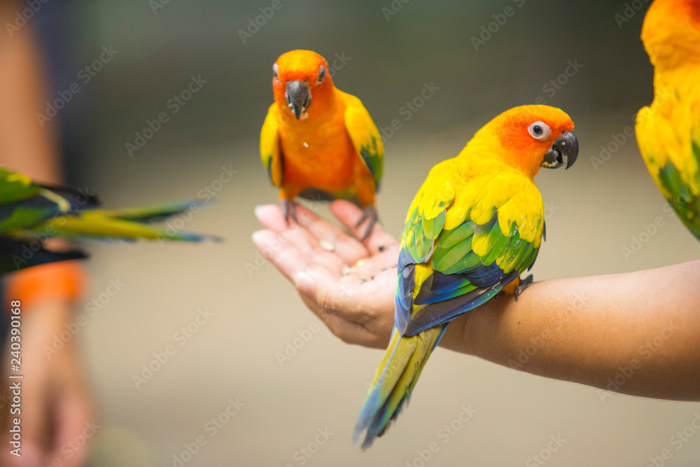 Beautiful Sun Conure Parrot bird sitting on kid hand