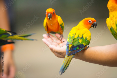 Beautiful Sun Conure Parrot bird sitting on kid hand