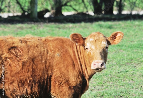 Brown Cow Staring