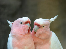 Lovely Couple Of Cockatoos. Cu...