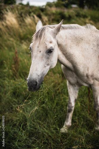 Photo  White irish horse
