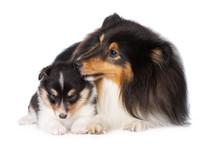 Sheltie Dog Licks Her Puppy