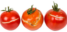 3 Split, Cracked Tomatoes Due To Rain After Drought, Gardening Problem.