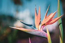 A Close Up Of A Bird Of Paradise Flower Taken In Los Angeles, America