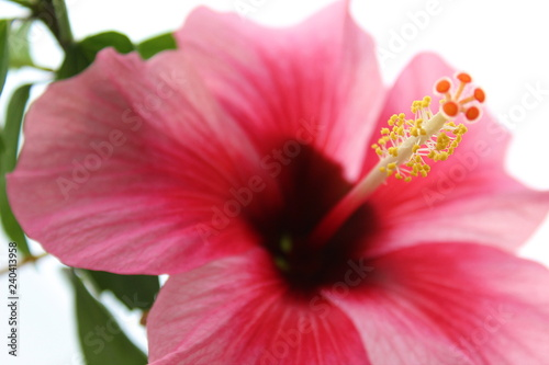 Red Flower With Yellow Stamen And Pistil Buy This Stock Photo And