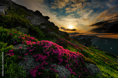 A beautiful summer evening in the Ukrainian Carpathian Mountains, covered with flowering rhododendron with millions of magic flowers, covered around Slika na platnu