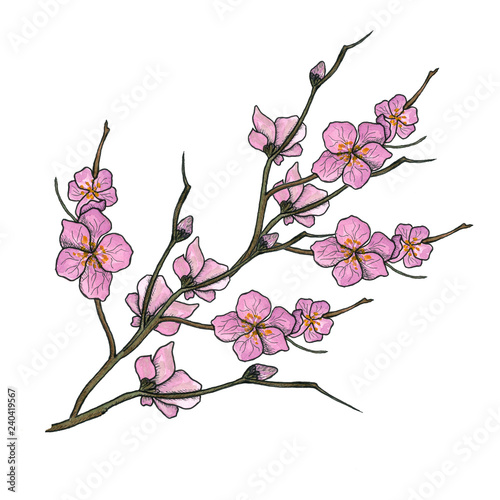 Poster Orchid Watercolor illustration of spring bloom branch with pink flowers, buds. Realistic design isolated on white. Blooming cherry tree twigs, blossom collection. Apple, peach or apricot flowering branches.