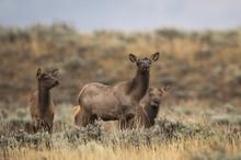 Female Elk In Rain