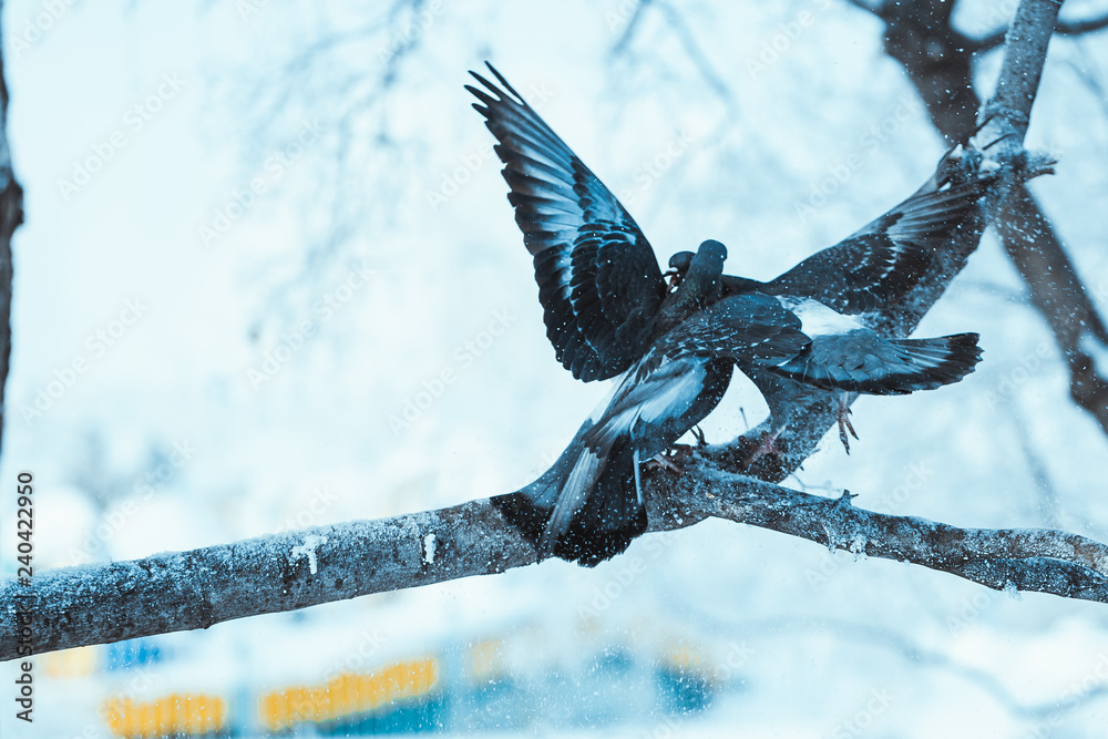 pigeons kiss on a branch in the winter afternoon