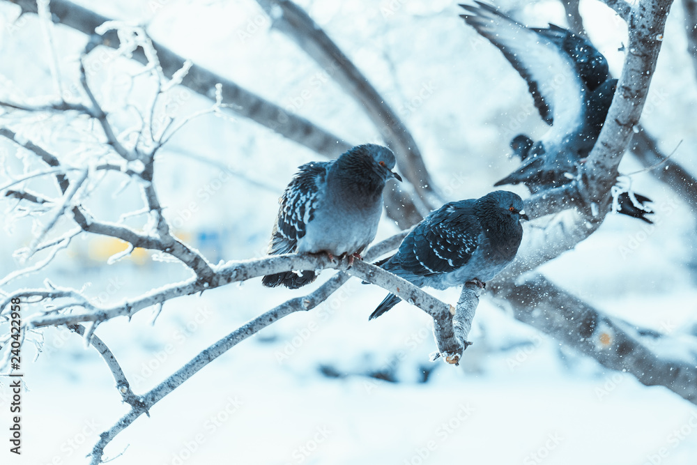 pigeons sitting hunched on a branch in the winter day