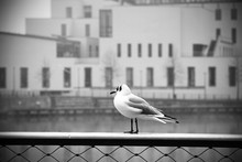 Seagull In Town