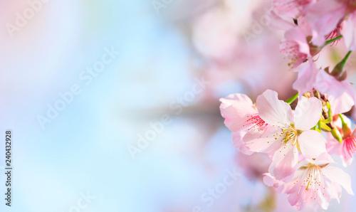 Pink sakura petals flower background. Romantic blossom sakura flower petals