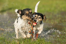 Two Cute Jack Russell Terrier Dogs Playing And Fighting With A Ball In A Water Puddle In The Snowless Winter And Have A Lot Of Fun.
