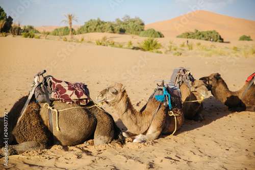 Poster Chameau camels in the sahara