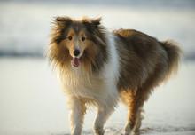 Sheltie Dog On Beach