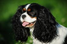 Cavalier King Charles Spaniel Dog Outdoor Portrait