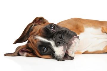 Młody bokser pies odpoczywa