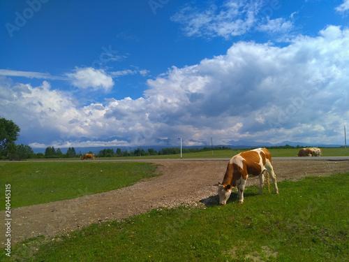 Obraz na plátně Cow eating grass