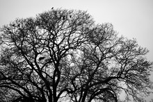 Silhouette Of Crows Roosting I...