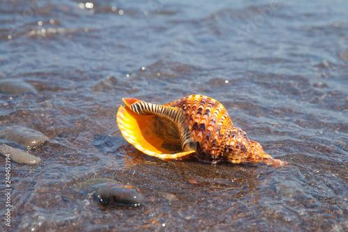 Live clam Triton horn close-up