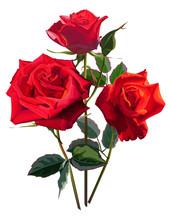 Flower Vector Illustration-Roses Red Color