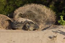 Gallapagos Sea Turtle