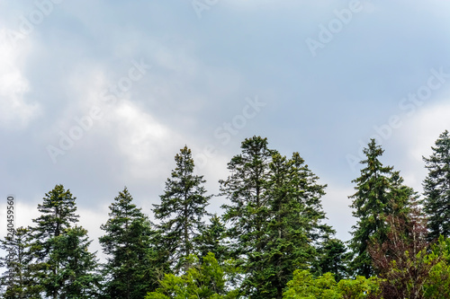 Poster Arbre background with top of pine trees . spring theme , place for text