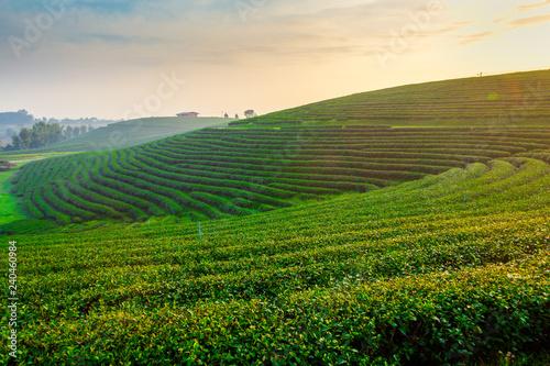 Cadres-photo bureau Sauvage A beautiful sunrise at Chui Fong tea plantation, Chiang Rai, Thailand