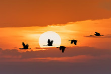 Silhouette Of Flying Flock Of Common Crane On Morning Sky, Migration In The Hortobagy National Park, Hungary, Puszta Is Famous Ecosystems In Europe And UNESCO World Heritage Site