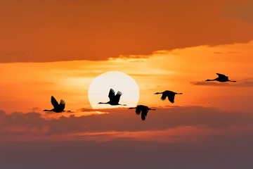Obraz na Szkle Natura silhouette of flying flock of Common Crane on morning sky, migration in the Hortobagy National Park, Hungary, puszta is famous ecosystems in Europe and UNESCO World Heritage Site